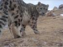 Snowleopard5