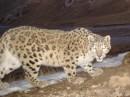 Snowleopard8