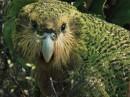 1_Kakapo